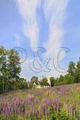 Church and Lupine, Sugar Hill, White Mountains, New Hampshire, USA