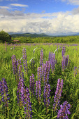 Lupine, Sugar Hill, White Mountains, New Hampshire, USA