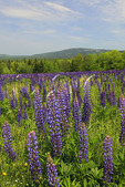 Lupine Bloom on Beech Mountain, Look at Acadia Mountain, Mount Desert Island, Maine, USA