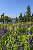 Field of Lupine, Manset, Mount Desert, Maine, USA