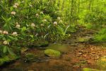 Rhododendron Maximum and Laurel Prong Beside Laurel Prong / Fork Mountain Trail, Shenandoah National Park, Virginia, USA