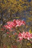 Pink Azalea, Compton Peak, Appalachian Trail, Shenandoah National Park, Virginia, USA
