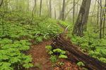 May Apples Along Appalachian Trail In  Virginia, USA