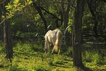 Grazing Horses Along Appalachian Trail, Skyland Lodge Stables, Shenandoah National Park, Virginia, USA