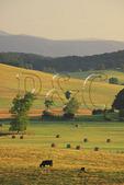 Hay Bales and Cows, Swoope, Shenandoah Valley, Virginia, USA
