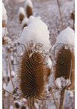 Snow on Teasel, Shenandoah Valley, Swoope, Virginia