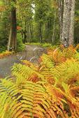 Ferns Beside Carriage Road near Jordan Pond, Acadia National Park, Maine