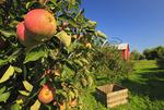 Apple Orchard, Near Winchester, Welltown, Virginia, USA