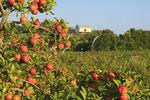 Apple Orchard, Near Winchester, Stephens City, irginia, USA