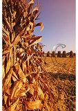 Corn shucks, Budds Creek, Maryland