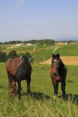 Horses in Field, Dayton, Shenandoah Valley of Virginia, USA