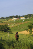 Horses in Field, Dayton, Shenandoah Valley of Virginia, USA