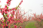 Blooming Peach Orchard in Fog, Crozet, Virginia, USA