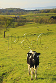 Young Holsteins on farm in Arborhill, Shenandoah Valley, Virginia, USA