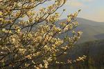 Dogwood Bloom, Shenandoah National Park, Virginia, USA