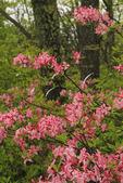 Pink Azalea, Shenandoah National Park, Virginia, USA