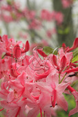 Pink Azalea blooming in fog, Shenandoah National Park, Virginia, USA