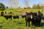 Cows Near Sangersville in the Shenandoah Valley of Virginia, USA