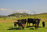 Cattle on farm near Middlebrook in the Shenandoah Valley, Virginia, USA