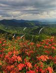 Flame Azalea Beside Appalachian Trail in Engine Gap, Roan Mountain, Carver's Gap, Tennessee / North Carolina, USA