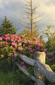 Rhododendron bloom, Roan Mountain, Carvers Gap, Tennessee / North Carolina