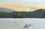 Geese at Sunrise Beside  Appalachian Trail, Shook Branch Recreation Area, Watauga Lake, Hampton, Tennessee, USA