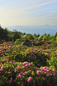 Roan High Knob Rhodorendron Gardens, Roan Mountain, Carver's Gap, Tennessee / North Carolina, USA