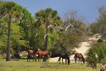 Wild Horses; Cumberland Island National Seashore; Georgia; USA