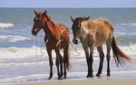 Wild Horses on the Southern Beach; Cumberland Island National Seashore; Georgia; USA