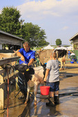 Washing Cow, Rockingham County Fair, Harrisonburg, Shenandoah Valley, Virginia, USA
