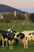 Cows Grazing at Moonrise near Dayton in the Shenandoah Valley of Virginia, USA