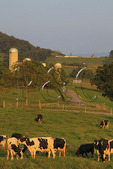 Cows Grazing near Dayton in the Shenandoah Valley of Virginia, USA