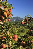 Apple Orchard, Roseland, Nelson County, Virginia, USA