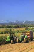 Cutting Corn, Dayton, Shenandoah Valley of Virginia, USA