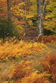Rohrbaugh Trail, Dolly Sods Wilderness, Hopeville, West Virginia, USA