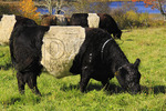 Belted Galloways, Camden, Maine, USA