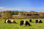 Belted Galloways, Camden, Maine, USA