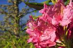 Rhododendron, Andrews Bald, Great Smoky Mountains National Park, North Carolina, USA
