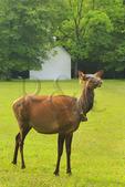 Elk Near Palmer Chapel in Cataloochee Valley, Great Smoky Mountains National Park, North Carolina, USA