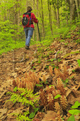Cancer Root, Kanati Fork Trail, Great Smoky Mountains National Park, North Carolina, USA