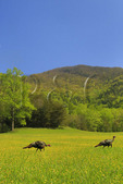 Wild Turkey, Cades Cove, Great Smoky Mountains National Park, Tennessee, USA