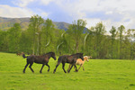 Horses, Cades Cove, Great Smoky Mountains National Park, Tennessee, USA