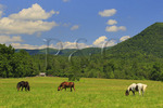 Horses Beside Sparks Lane, Cades Cove, Great Smoky Mountains National Park, Tennessee, USA