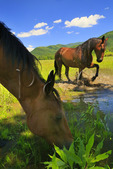 Horses Cooling Off, Cades Cove, Great Smoky Mountains National Park, Tennessee, USA