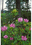 Rhododendron, Barlow Trail, Mount Hood National Forest, Oregon