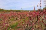 Blooming Peach Orchard, Crozet, Virginia, USA