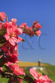 Blooming Tree, Shenandoah Valley, Dayton, Virginia, USA