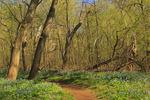 Blue Bells, Bull Run Regional Park, Centreville, Virginia, USA