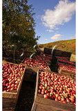 Ripe apples in crates, Cashtown, Pennsylvania