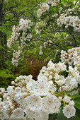 Mountain Laurel blooming on the Appalachian Trail, Sawmill Ridge, Shenandoah National Park, Virginia, USA